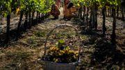 Vendanges au Portugal: les naturistes sont en état de communion avec la nature