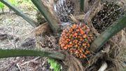 La culture des palmiers pour la production d'huile de palme menace la forêt tropicale