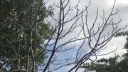 Certains arbres aux racines peu profondes, ont perdu toutes leurs feuilles