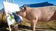 Après Picasso... voici Pigcasso, le cochon peintre!