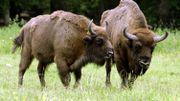 Un duo de bison dans les plaines de la forêt