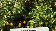 SOS Candice: où trouver de la bergamote fraîche près de Ciney?
