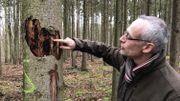 Philippe de Wouters constate l'ampleur des dégâts sur sa parcelle: une soixantaine d'épicéas sont touchés. Les arbres marqués d'un S devront être abattus.