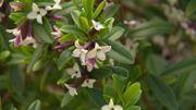 Zoom sur un arbuste à l'allure buissonnante et au parfum envoûtant: le Daphne tangutica