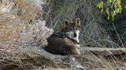 Une louve grise retrouvée morte après avoir parcouru 12.700km pour trouver un compagnon
