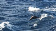 Les dauphins, accro au poisson - globe ?