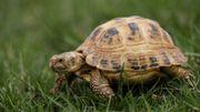 """Un """"chaînon manquant"""" lève le voile sur le mystère de l'évolution des tortues"""