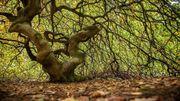 Voyage en France: les forêts de la Montagne de Reims, le mystère des hêtres tortillards