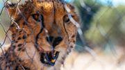 Depuis 2000, les agriculteurs, les écoles et le grand public viennent apprendre à mieux connaître le mode de vie et la biologie des guépards.