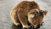 """Un koala bloque la circulation pour boire l'eau sur l'asphalte de la route: """"Tellement soif qu'il refusait de bouger"""""""