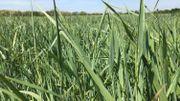 Une nouvelle céréale pour rendre nos cultures plus résilientes à la sécheresse?