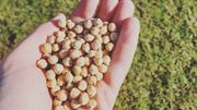 Andenne : saviez-vous que chez nous quelques agriculteurs cultivent des lentilles et des pois chiches ?