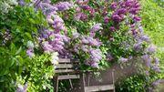 Vous n'imaginez pas tout ce que cache le lilas