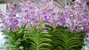Plante d'intérieur du mois: le cymbidium