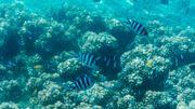 En 2018, année internationale pour les récifs coralliens, l'Australie appelle à l'aide les cerveaux du monde entier face aux dégradations de son joyau national.