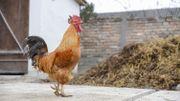 Les poules en ville, c'est permis ? Le coup de gueule de Marianne Virlée dans « C'est pas fini »