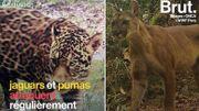 En Guyane, les éleveurs peinent à coexister avec les jaguars