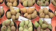 Les poires à la Pépinières Guy Lemaire