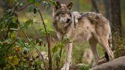 Le loup s'expose au Parc naturel des Hautes Fagnes-Eifel
