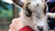 Chèvres, alpagas, vaches… Ces animaux qui nous veulent du bien