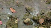 Ces algues prolifèrent en ce moment dans l'Ourthe