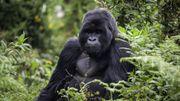 Des gorilles qui chantent et qui pètent pour la première fois en images
