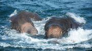 Sri Lanka: deux jeunes éléphants sauvés en pleine mer