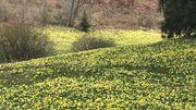 Les jonquilles forment un véritable tapis jaune