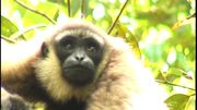 Sauvons les gibbons
