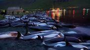 Une pêche traditionnelle tue 1500 dauphins : une tradition peut-elle tout justifier?