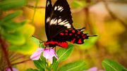 Nos papillons sont menacés: quels gestes simples peuvent les sauver ?