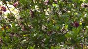 Daphne tangutica - Un arbuste au feuillage persistant et à l'allure buissonnante
