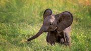 Les braconniers accélèrent l'évolution: les éléphants naissent de plus en plus sans défenses