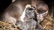 Dix poussins manchots sont nés au parc animalier de Planckendael