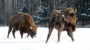 Des bisons de Bialowieza