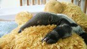 Un zoo anglais utilise une peluche pour prendre le rôle de la mère d'un bébé fourmilier