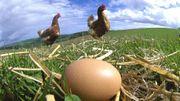Consommer entre 3 et 6 œufs par semaine pourrait doper la santé cardiovasculaire