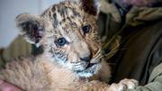 Naissance d'un bébé ligre en Russie, animal extrêmement rare...