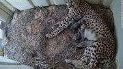 Suivez par webcam les bébés guépards qui viennent de naître en Virginie