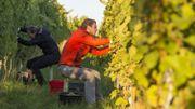 """Participez aux vendanges de """"Vin de Liège"""""""