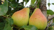 Les anciennes variété de poires de la pépinière Guy Lemaire à Ciney