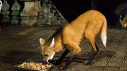 Ces humains reçoivent la visite d'un loup à crinière au Brésil
