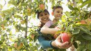 La pomme est à l'honneur ce week-end dans les jardineries