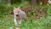 6 louveteaux arctiques pour la réouverture du Parc Animalier du Domaine des Grottes de Han