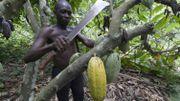 Ce sont souvent des petits producteurs qui cultivent le cacao
