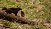Le glouton, disparu de Belgique depuis la Préhistoire, s'est à nouveau reproduit au Domaine des Grottes de Han !