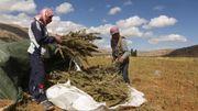 La vallée de Bekaa est la terre d'accueil de beaucoup de réfugiés Syriens. Ces deux-ci récoltent les cultures de cannabis