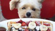 Un chien proclamé expert culinaire sur Instagram