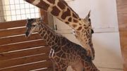 April la girafe de New York, star d'internet, accouche en direct