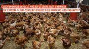 Que se passera-t-il avec ces poules que récupère l'association si on n'arrive pas à les faire adopter ?